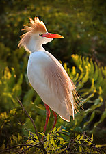 Egret Alert by Melinda Moore (Color Photograph)