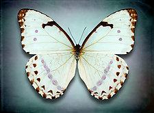 Morpho Epistrophus Catenaria (Underside) by Dario Preger (Color Photograph)