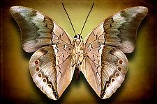 Archaeoprepona Chromas by Dario Preger (Color Photograph)