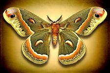 Hyalophora Cecropia by Dario Preger (Color Photograph)