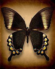 Papilio Blumei (Underside) by Dario Preger (Color Photograph)
