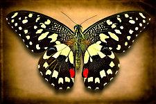 Papilio Demodocus by Dario Preger (Color Photograph)