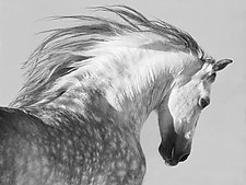 Gray Stallion Tosses His Head by Carol Walker (Black & White Photograph)