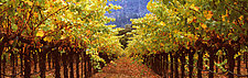 Under Vineyard Rows by Terry Thompson (Color Photograph)