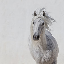 White Stallion Runs Up by Carol Walker (Color Photograph)