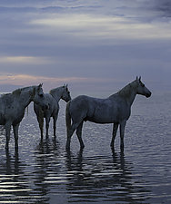 Camargue Horses Waiting for Sunset by Carol Walker (Color Photograph)