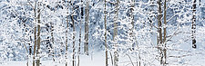 Aspens in Snow by Terry Thompson (Photography Color)