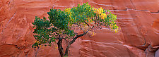 Single Cottonwood by Terry Thompson (Color Photograph)