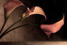 Three Callas by Richard Speedy (Color Photograph)