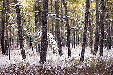 Pinelands Snow by Richard Speedy (Color Photograph)