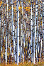 Aspens by Richard Speedy (Color Photograph)