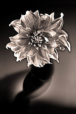 Radiant Dahlia by Richard Speedy (Black & White Photograph)
