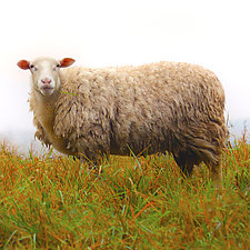 Grass Fed I - Listening by Richard Speedy (Color Photograph)