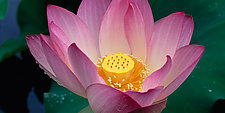 Lotus Blossom by Terry Thompson (Color Photograph)
