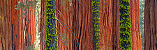 Giant Sequoias by Terry Thompson (Color Photograph)
