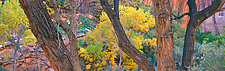 Cottonwood Trunks by Terry Thompson (Color Photograph)