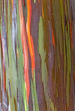 Rainbow Tree Bark II by Terry Thompson (Color Photograph)