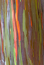Rainbow Tree Bark II by Terry Thompson (Color Photograph)
