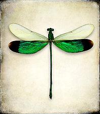 Neurobasis Chinensis by Dario Preger (Color Photograph)
