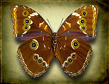 Morpho Helenor Helenor (Underside) by Dario Preger (Color Photograph)