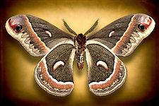 Hyalophora Cecropia (Underside) by Dario Preger (Color Photograph)