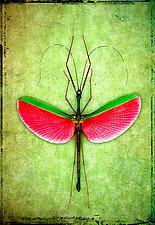 Marmessoidea Rosea by Dario Preger (Color Photograph)
