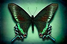 Papilio Maackii Maackii by Dario Preger (Color Photograph)