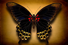 Papilio Deiphobus (Underside) by Dario Preger (Color Photograph)