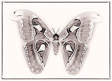 Attacus Atlas No. 2 by Dario Preger (Black & White Photograph)