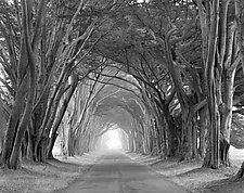 Arched Trees by William Lemke (Black & White Photograph)