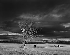 Tree and Cows by William Lemke (Black & White Photograph)