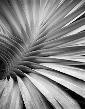 Palm Detail - Hawaii by William Lemke (Black & White Photograph)