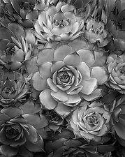 Plants #1 France by William Lemke (Black & White Photograph)