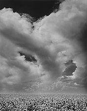 Sunflowers & Clouds by William Lemke (Black & White Photograph)