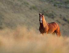 Sunrise Stallion by Carol Walker (Color Photograph)