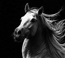 White Stallion's Pride by Carol Walker (Black & White Photograph)