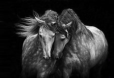 Two Andalusian Stallions by Carol Walker (Black & White Photograph)