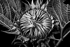 Sunflower New by Barry Guthertz (Black & White Photograph)
