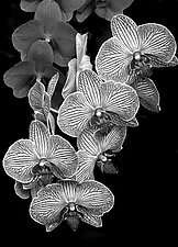 Orchid Family by Barry Guthertz (Photography Black & White)