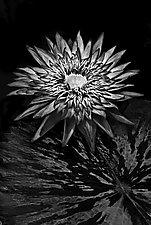 Sun Worship by Barry Guthertz (Black & White Photograph)
