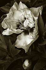 Our Peony by Barry Guthertz (Hand-Colored Photograph)