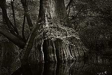 Savannah Swamp III by Greg Stroube (Black & White Photograph)