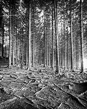 Forest by Geoffrey Agrons (Black & White Photograph)