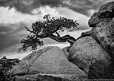 Ansel's Tree by James Bourret (Black & White Photograph)