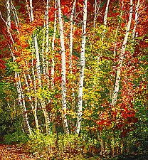 Birch by Scott Zupanc (Giclee Print)