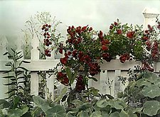 Climbing Roses by Vicki Reed (Hand-colored Photograph)