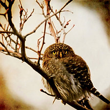 Song of a Northern Pygmy Owl I by Yuko Ishii (Color Photograph)