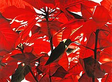 Poinsettia by Barbara Buer (Giclee Print)