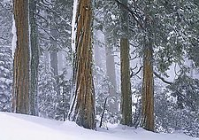 Ponderosa Pine in Snow by Will Connor (Color Photograph)