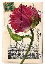 Franco British Tulip by Kevin Sprague (Giclée Print)